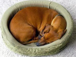 curled-up-sleeping-dog